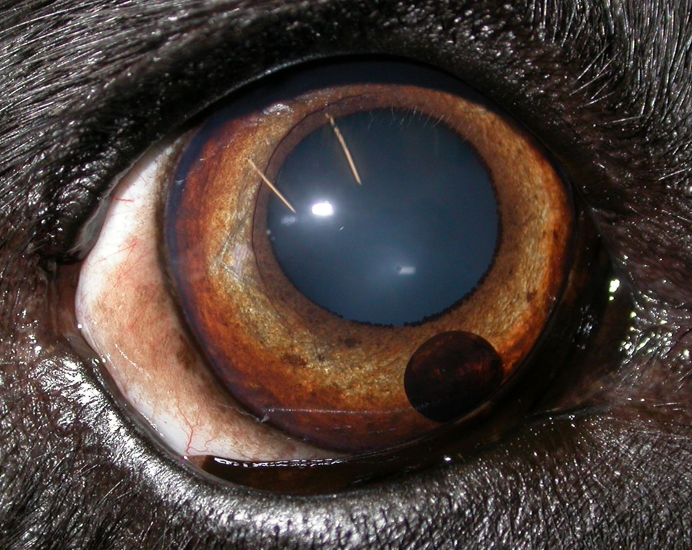 Hi, My Burmese cat has a brown spot next to the pupil in the
