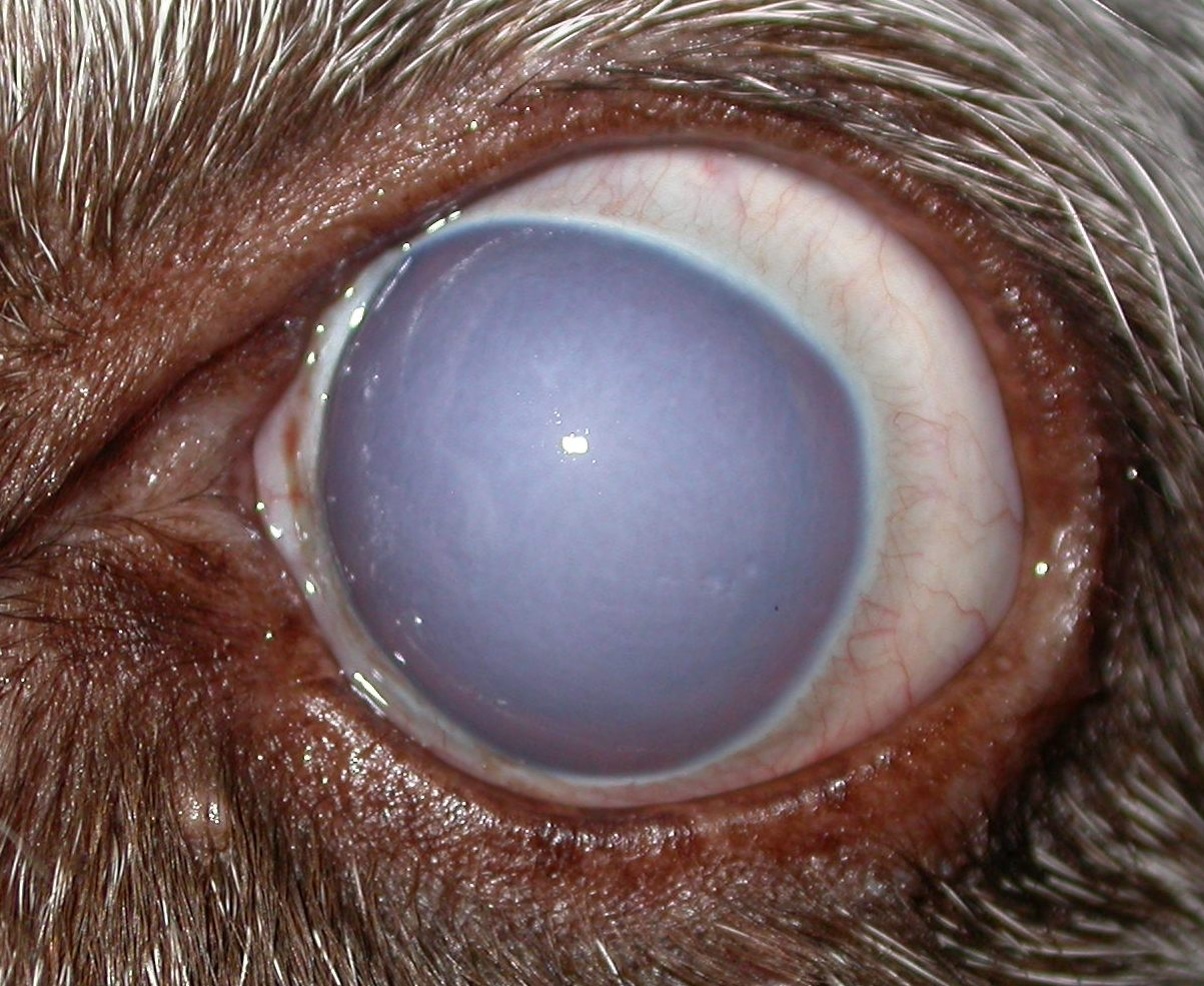 Eye Ulcer In Dogs Uk