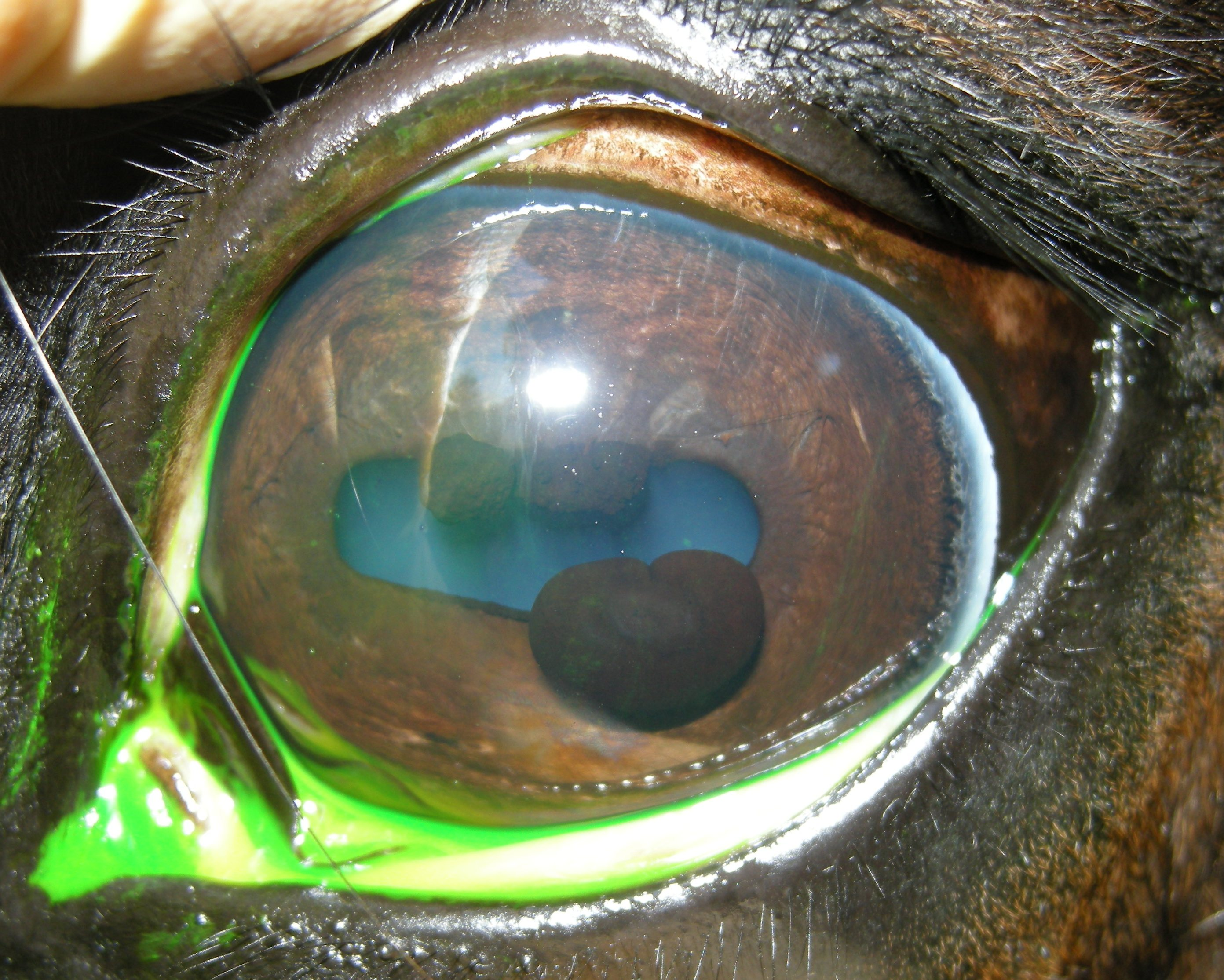 Pictures Of Iris Synechiae In Dog