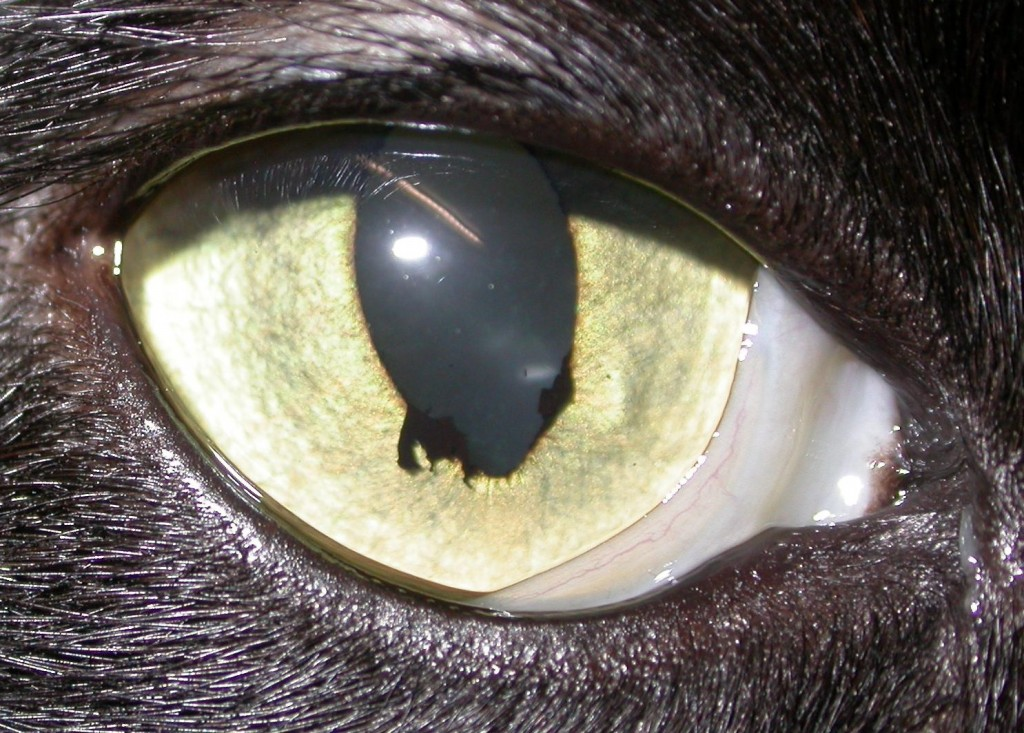 Brown Spot On Cat S Cornea