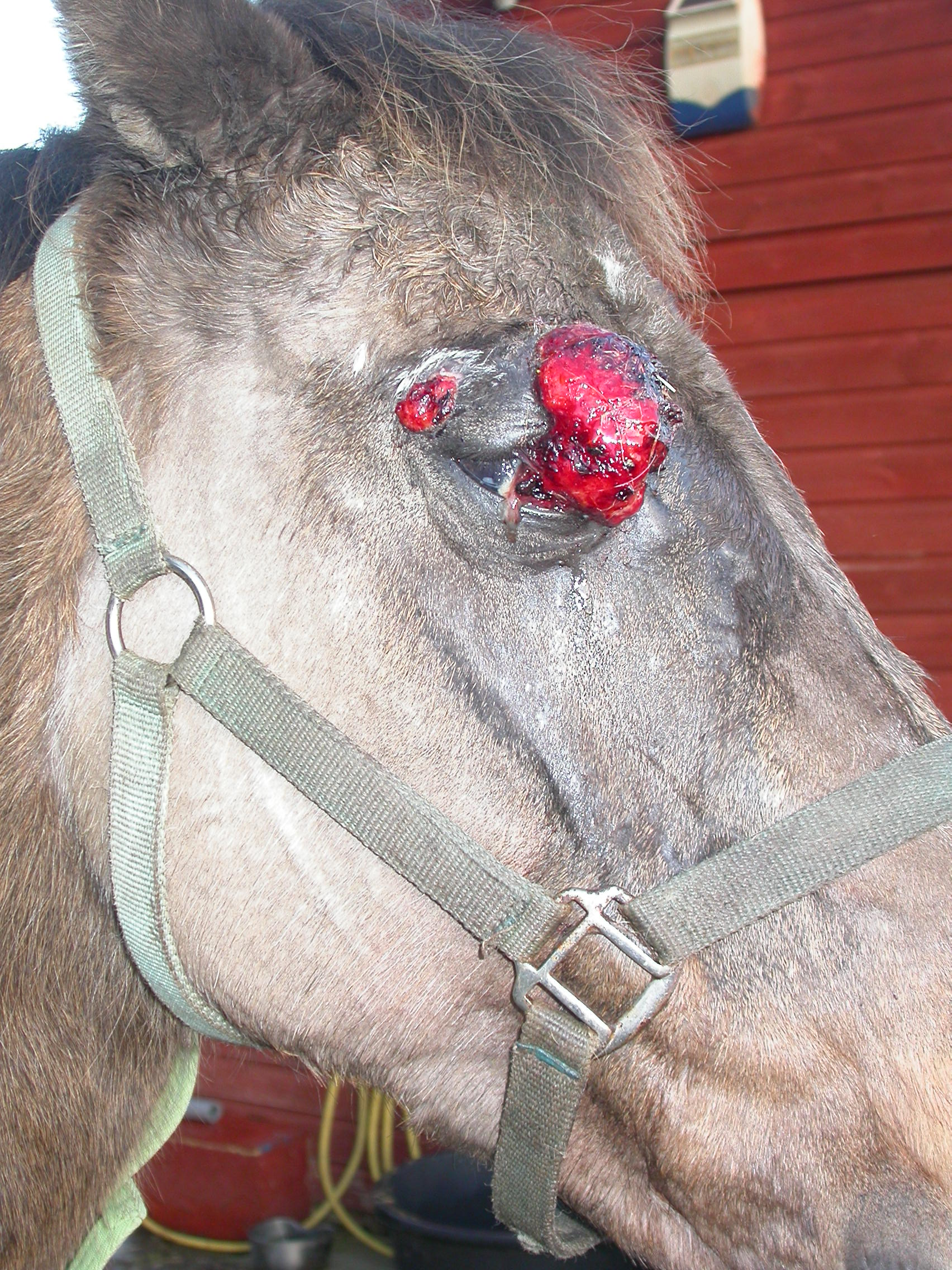 Pictures Of Sarcoids On Horses