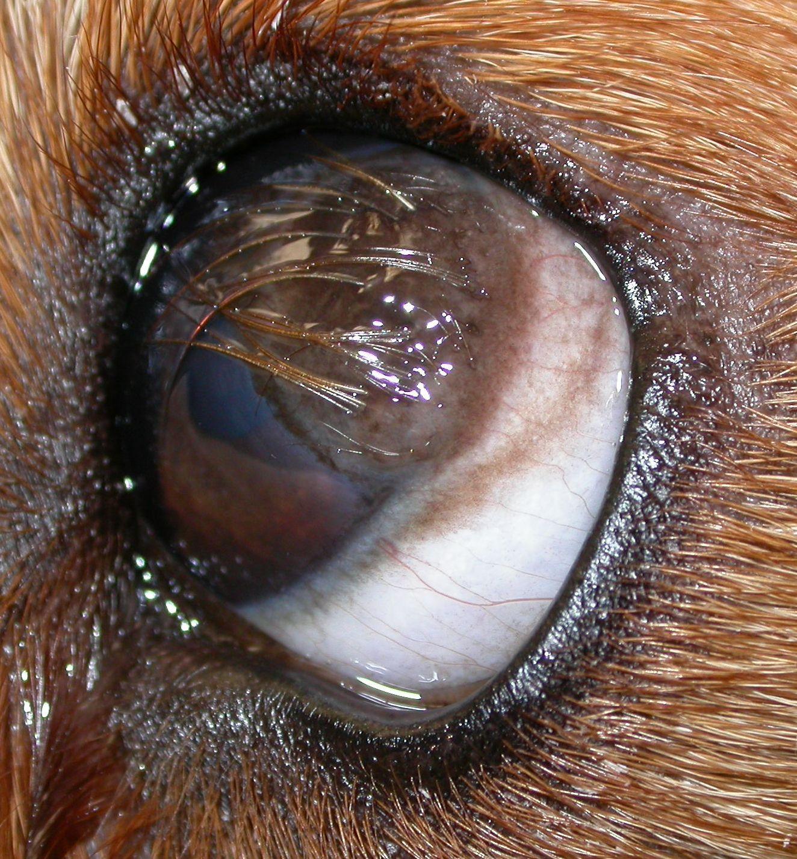 Veterinary ophthalmolo... Dermoid Cyst Eye
