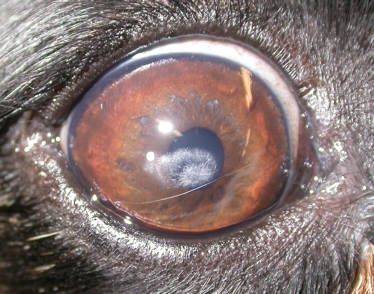 cushing disease in dogs steroids
