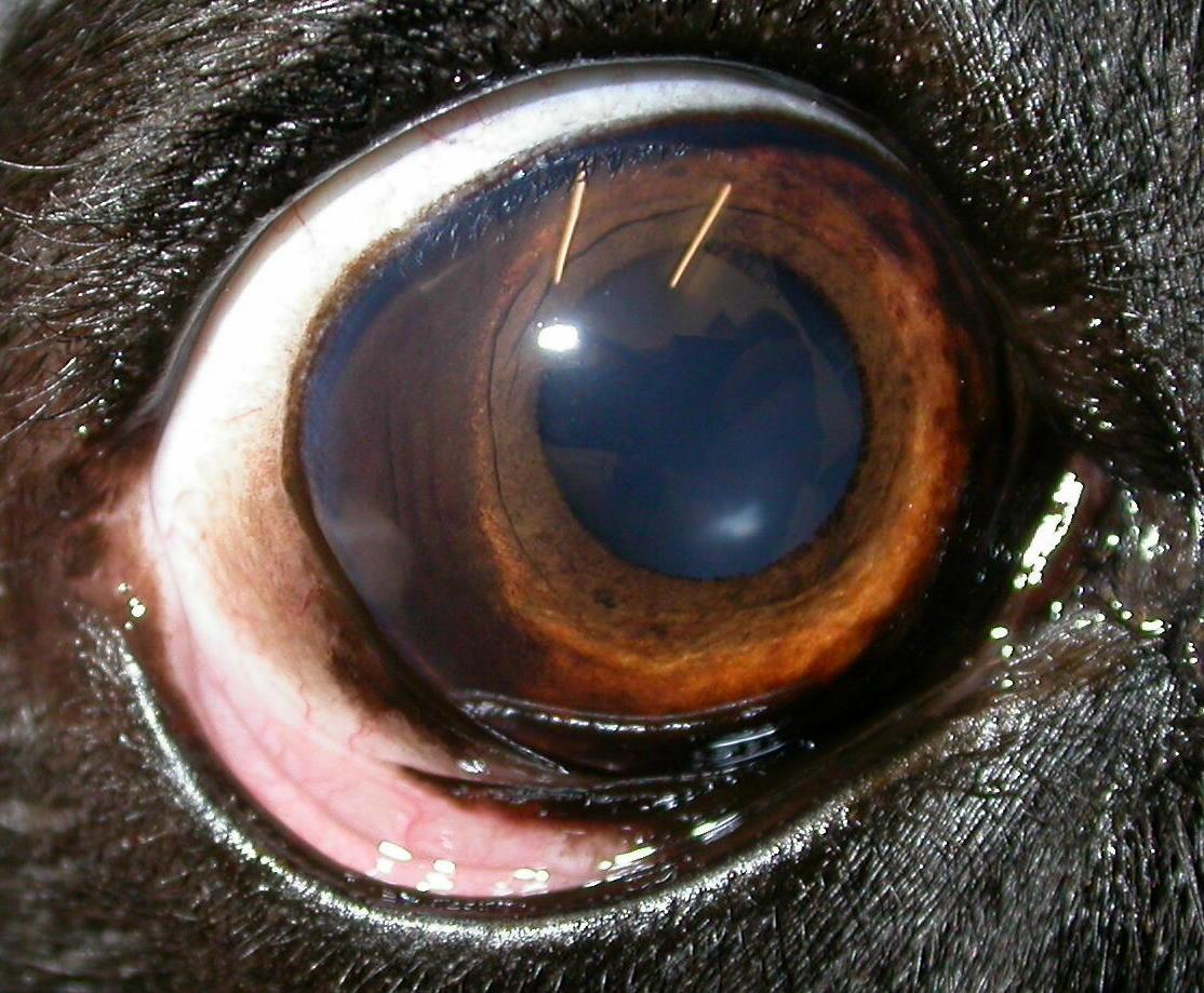 Black Spot On Dog S Eye Iris