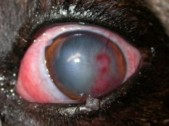 Eye Ulcer In Dog Not Healing